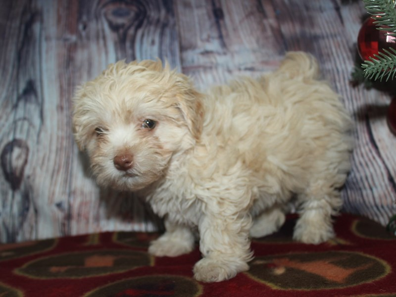 Malti Poo-Female-CREAM-2568499-Pet City Houston