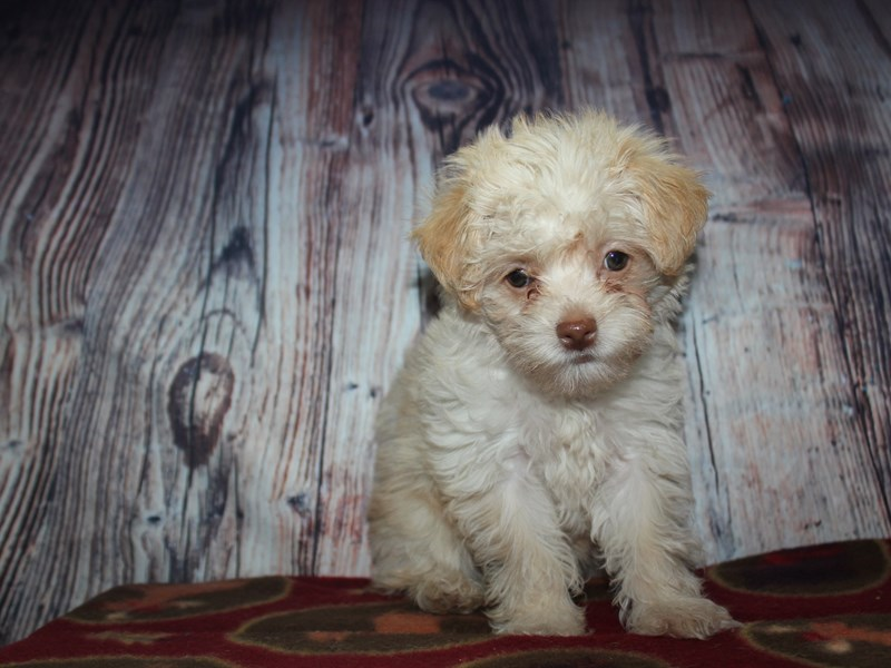 Malti Poo-Female-CREAM-2568495-Pet City Houston