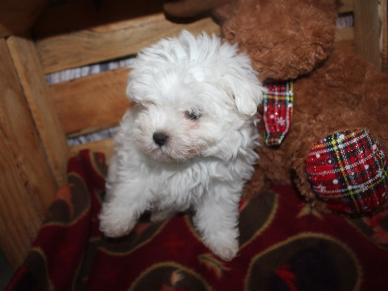 Maltese-Male-WHITE-2564607-Pet City Houston