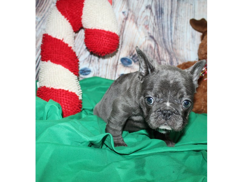French Bulldog-Female-BLUE-2564412-Pet City Houston