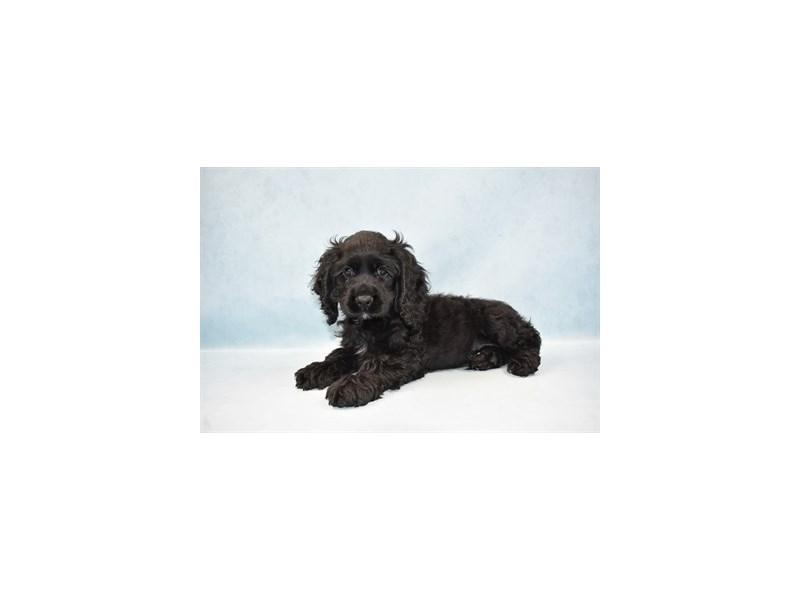 Cocker Spaniel-Male-Black-2581028-Pet City Houston