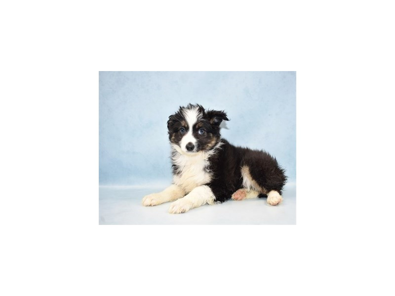 Miniature Australian Shepherd-Female-Black White and Brown-2581101-Pet City Houston