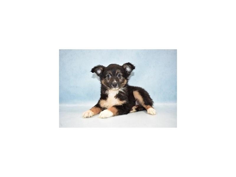 Miniature Australian Shepherd-Male-Black White and Brown-2581106-Pet City Houston