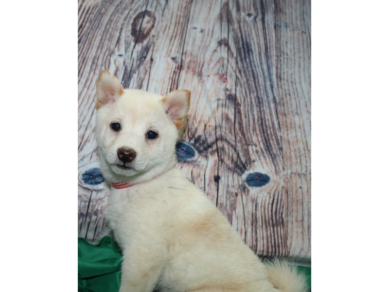 Shiba Inu-Female-CREAM-2583191-Pet City Houston