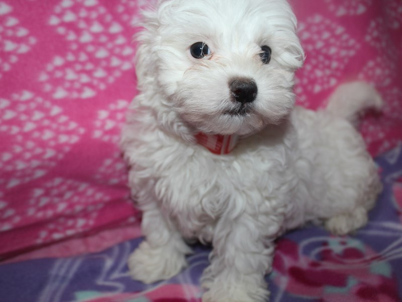Maltipoo-Female-Wht-2582989-Pet City Houston