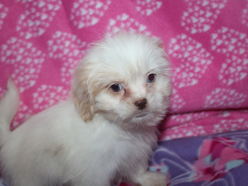 Malshi-Female-CREAM / WHITE-2583302-Pet City Houston