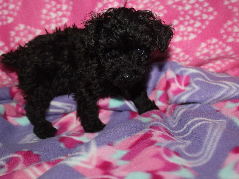 Toy Poodle-Male-BLACK-2582196-Pet City Houston