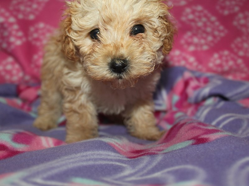 Toy Poodle-Female-Apricot-2582216-Pet City Houston