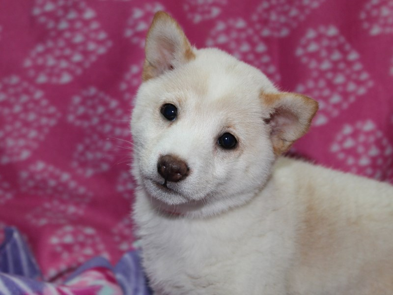 Shiba Inu-Female-CREAM-2583179-Pet City Houston