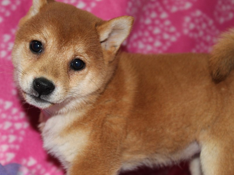 Shiba Inu-Female-RED-2583217-Pet City Houston