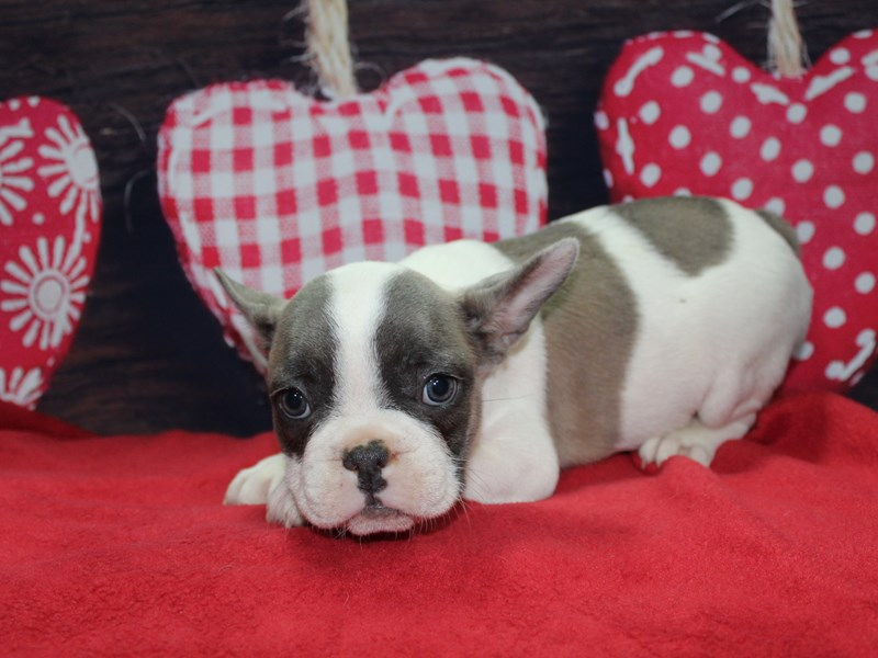 French Bulldog-Female-BLUE FAWN PIEBALD-2597618-Pet City Houston