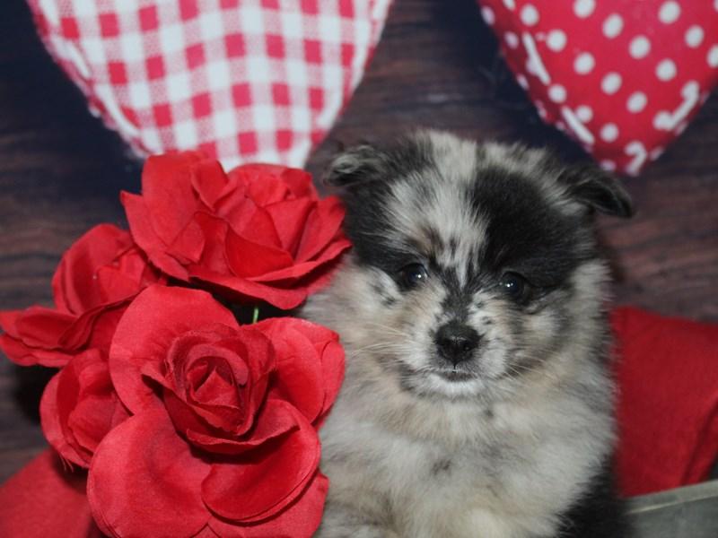 Pomeranian-Male-MERLE-2597853-Pet City Houston