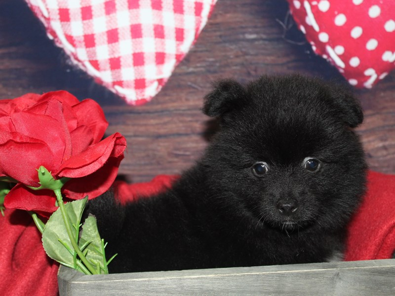 Pomeranian-Male-BLACK-2597855-Pet City Houston