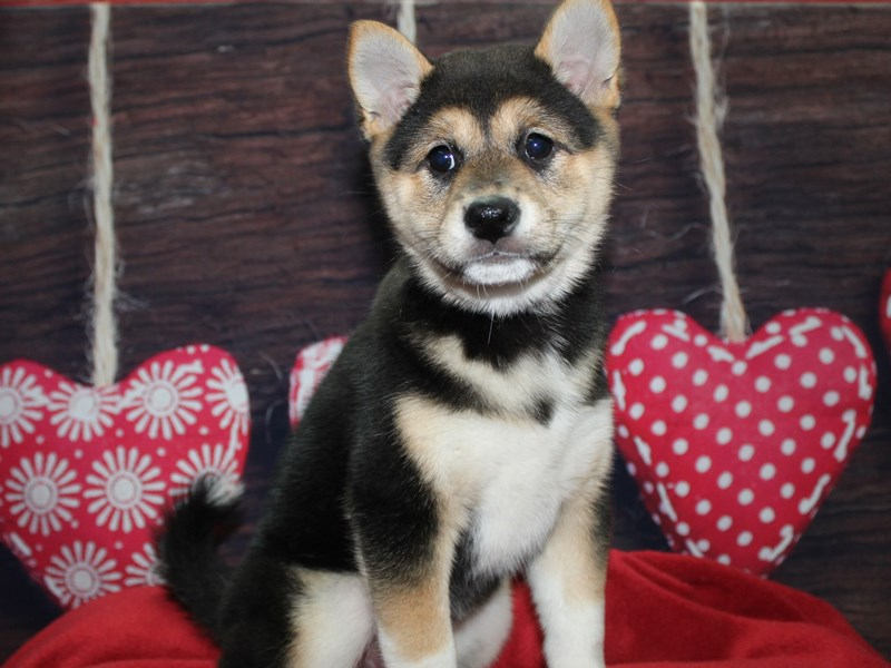 Shiba Inu-Female--2597622-Pet City Houston