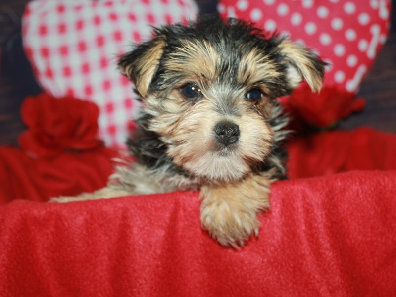 Morkie-Female--2600475-Pet City Houston