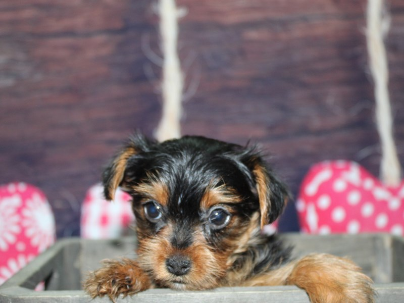 Yorkshire Terrier-Female-Blk/ Tan-2600507-Pet City Houston