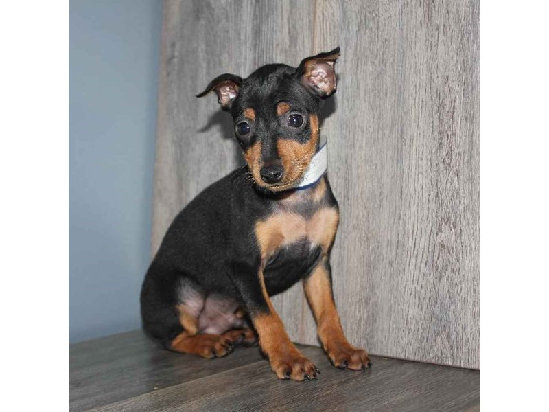Miniature Pinscher-Male-BLK/TAN-2460616-Pet City Houston