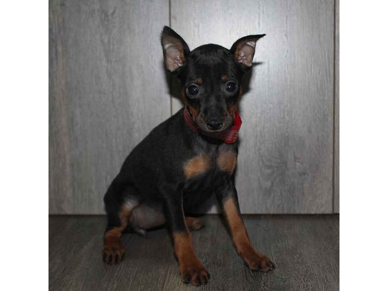 Miniature Pinscher-Female-BLK/TAN-2460615-Pet City Houston