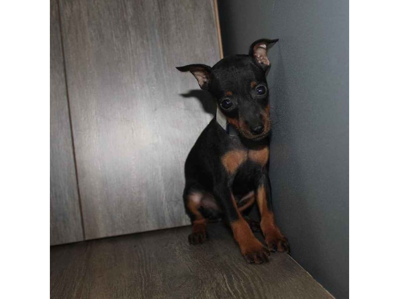 Miniature Pinscher-Male-BLK/TAN-2460606-Pet City Houston