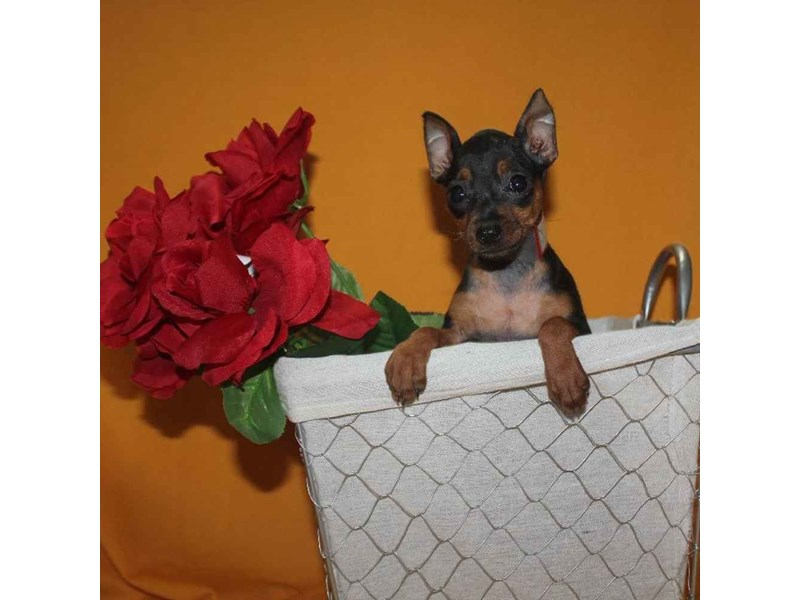 Miniature Pinscher-Female-BLACK & TAN-2468229-Pet City Houston
