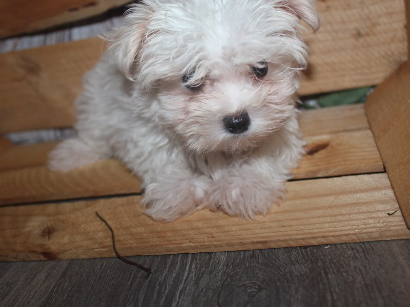 Maltese-Male-WHITE-2499097-Pet City Houston