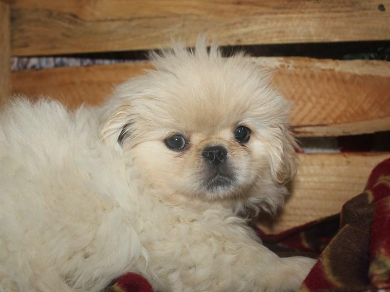 Pekingese-Female-CREAM-2545923-Pet City Houston