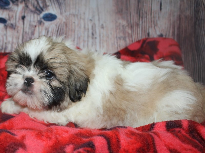 Shih Tzu-Male-Tan/ Wht-2582461-Pet City Houston