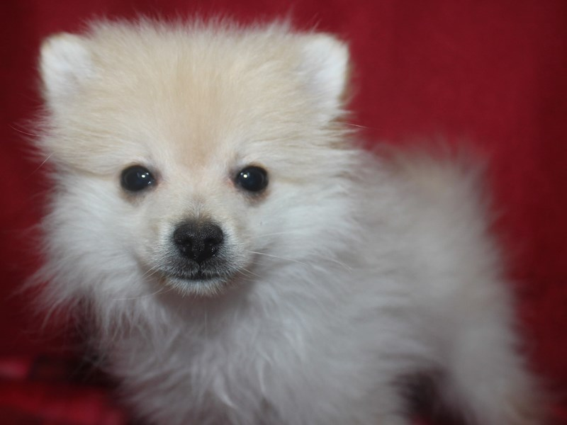 Pomeranian-Female-CREAM-2590057-Pet City Houston
