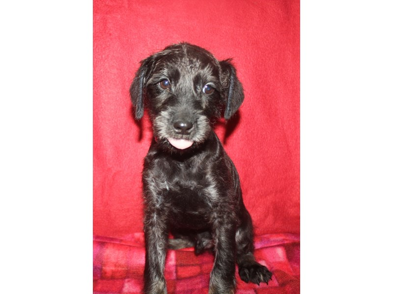 Schnoodle-Male-BLK/TAN-2590050-Pet City Houston