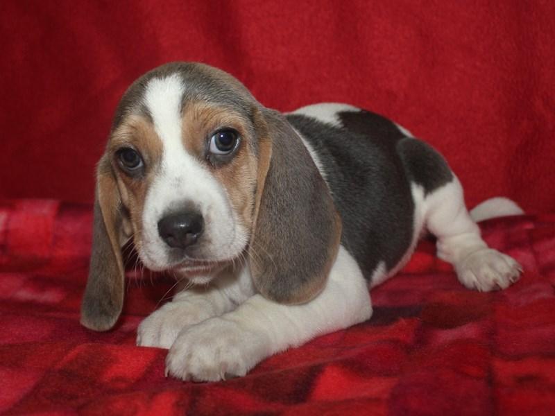 Beagle-Female-BLUE TRI-2590105-Pet City Houston