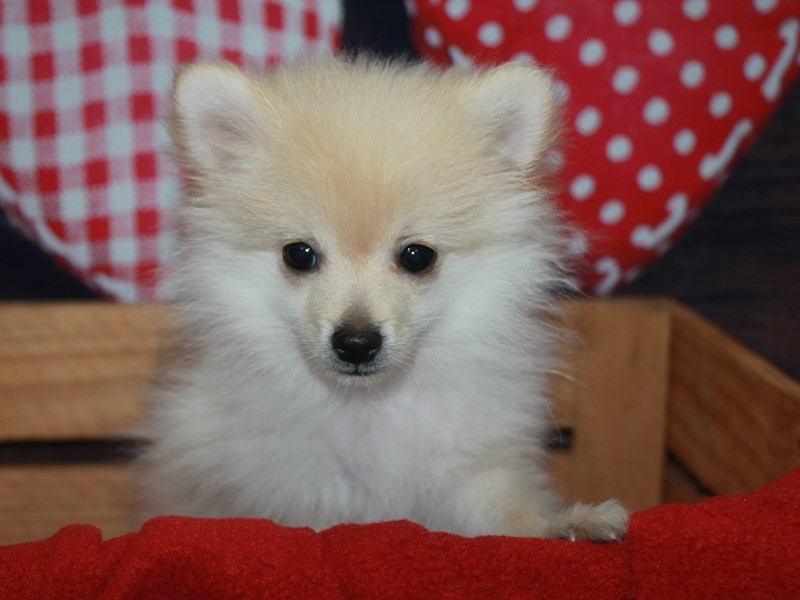 Pomeranian-Female-Cream-2582891-Pet City Houston