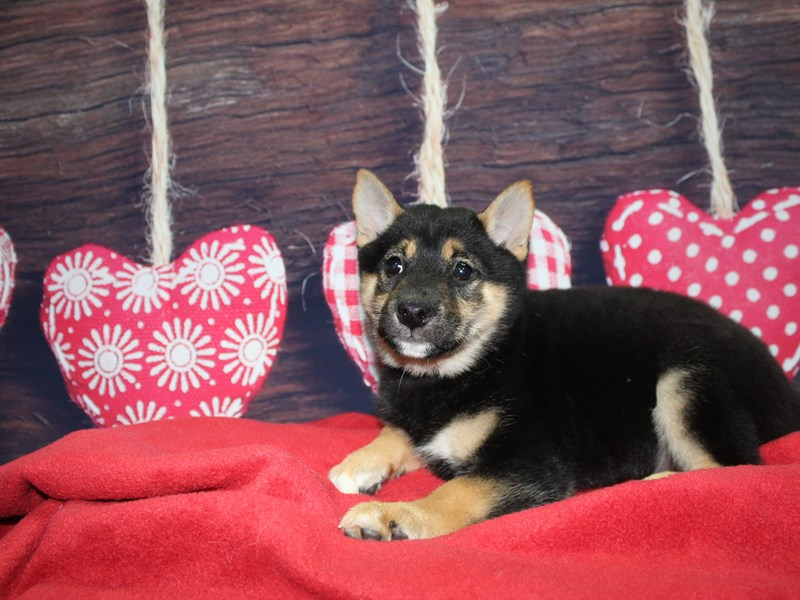 Shiba Inu-Male-BLACK-2597653-Pet City Houston