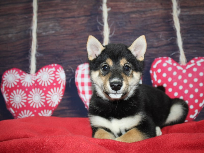 Shiba Inu-Male-BLACK-2597640-Pet City Houston