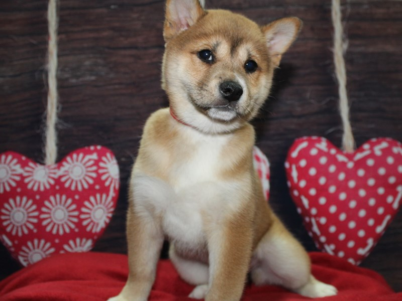 Shiba Inu-Female-RED-2597624-Pet City Houston