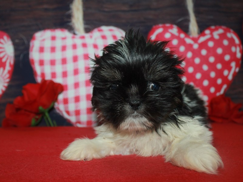 Shih Tzu-Female-BLACK / WHITE-2600240-Pet City Houston