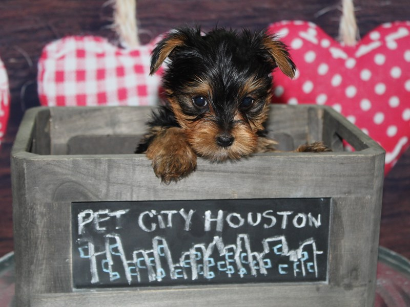 Yorkshire Terrier-Male-Blk/ Tan-2600492-Pet City Houston