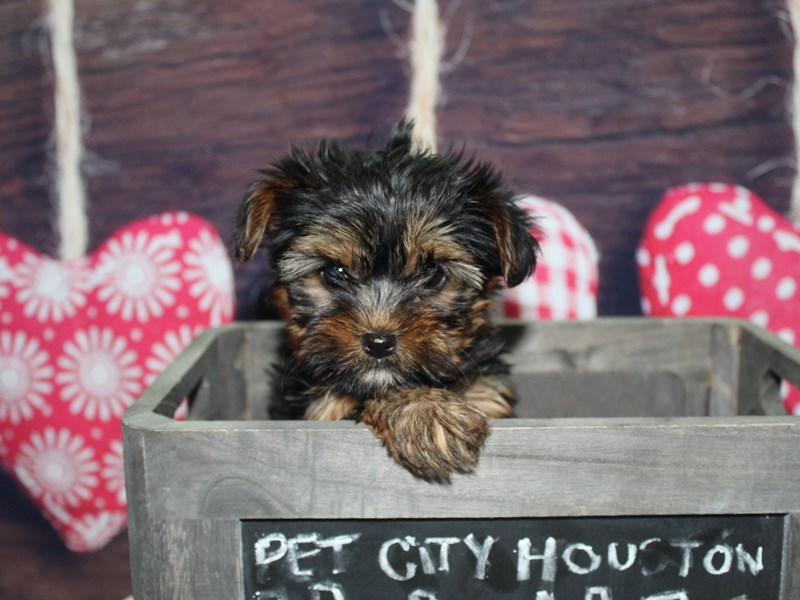 Yorkshire Terrier-Female-Blk/ Tan-2600512-Pet City Houston