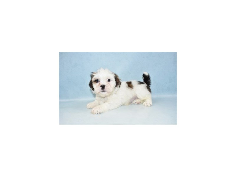 Lhasa Apso-Male-Golden-2611686-Pet City Houston