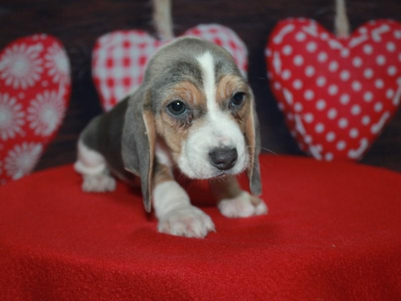 Beagle-Male-Blue Tri-2612607-Pet City Houston