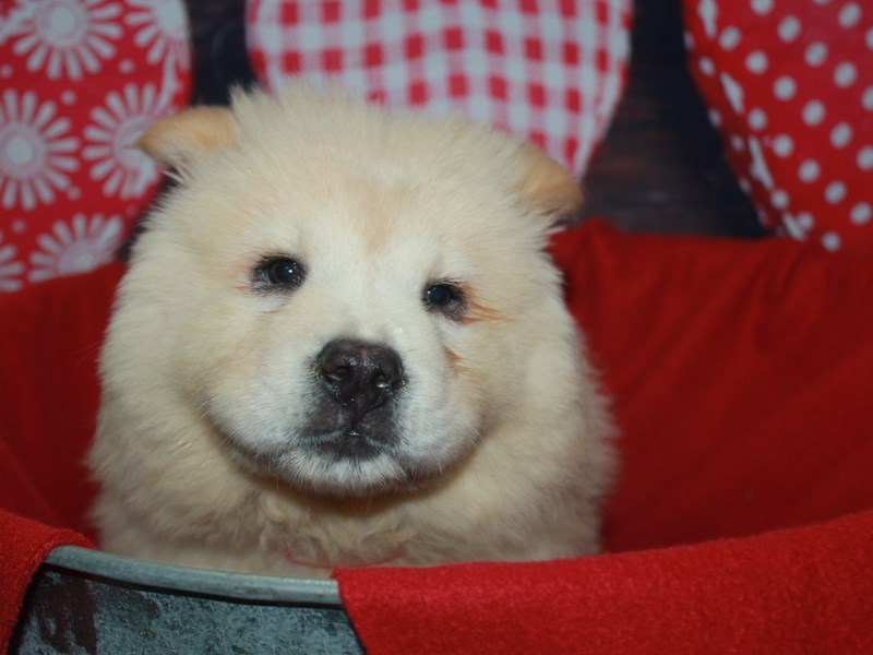 Chow Chow-Female-Cream-2612431-Pet City Houston