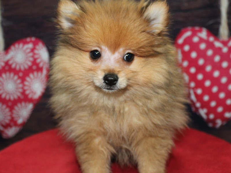 Pomeranian-Male-ORG SBL-2612797-Pet City Houston