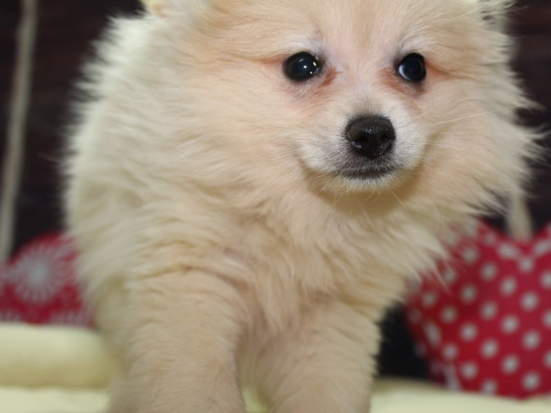 Pomeranian-Female-Cream-2612811-Pet City Houston