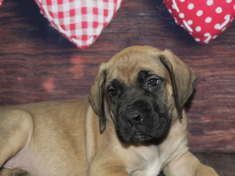 Bull Mastiff-Male-FAWN-2619561-Pet City Houston