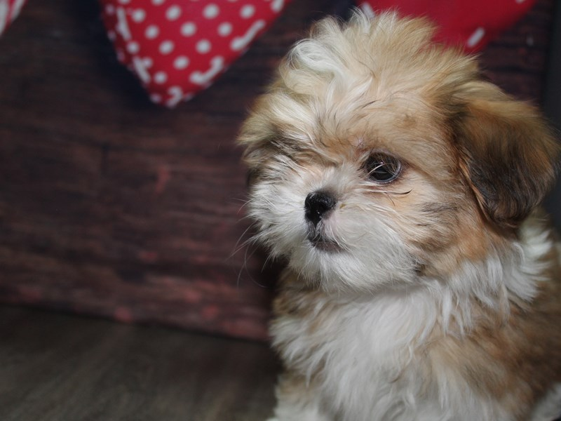 Shih Tzu-Male-Gold & White-2612728-Pet City Houston