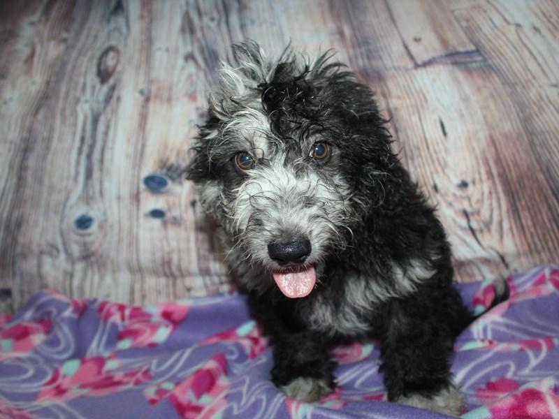 Goldendoodle-Male-Black / White Markings-2582815-Pet City Houston