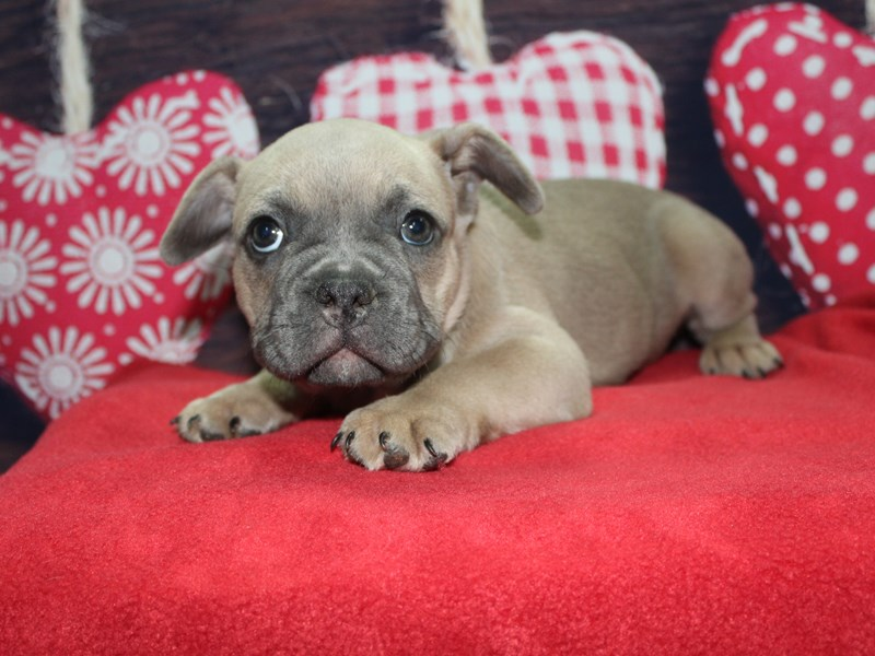French Bulldog-Male-BLUE FAWN-2597616-Pet City Houston
