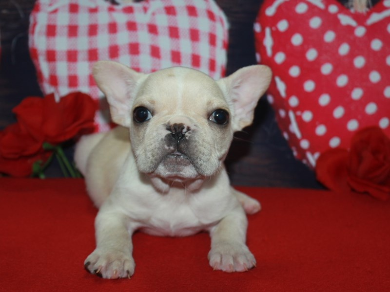 French Bulldog-Male-Cream-2600225-Pet City Houston