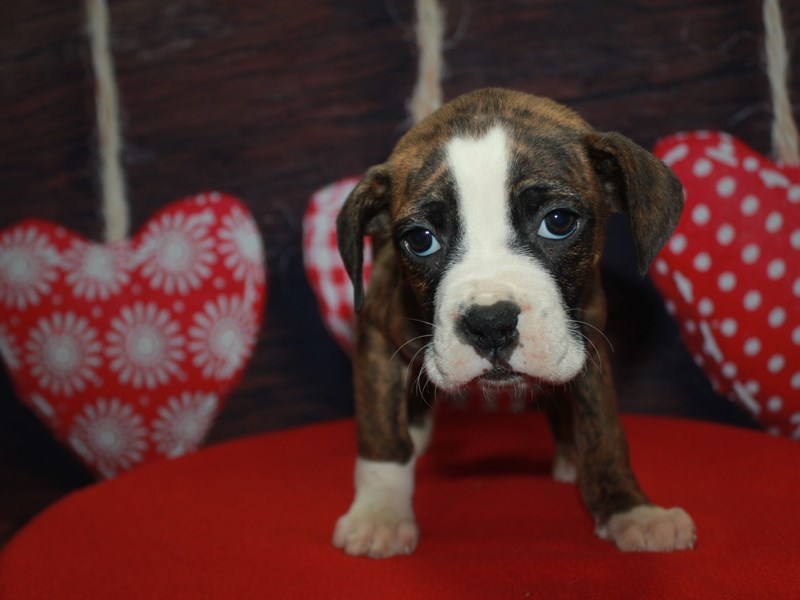 Boxer-Female-BRINDLE / WHITE-2612748-Pet City Houston