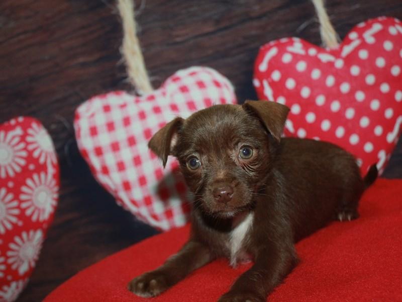 Miniature Schnoxie-Female-Chocolate/ Tan-2613303-Pet City Houston