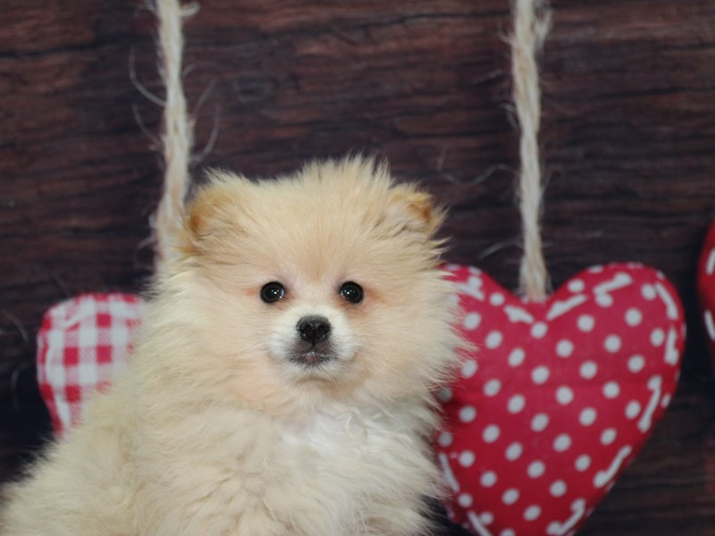 Pomeranian-Male-Cream-2612802-Pet City Houston